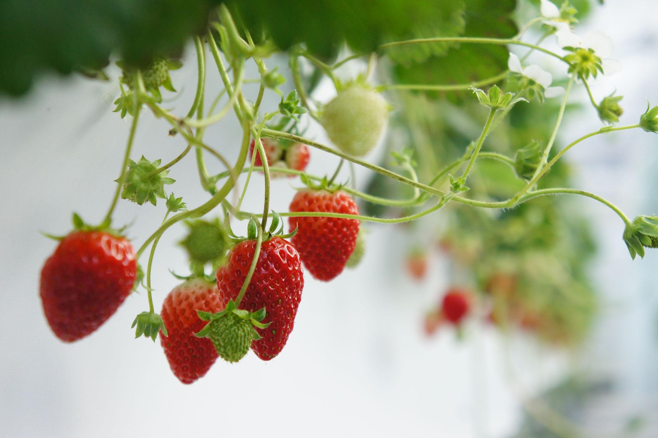 農園のイチゴ.JPG#asset:944